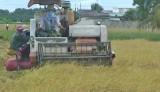 Nông dân Tân Trụ thu hoạch lúa Hè Thu 2017