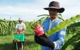 Thanh long Việt Nam vào Australia theo quy định nghiêm ngặt