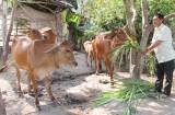 Thủ Thừa: Phát triển và nâng cao chất lượng đàn bò thịt