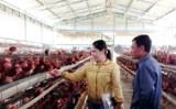 Xuất khẩu gà sang Nhật Bản: Thành công từ chuỗi liên kết giá trị