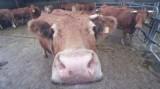 Ngừng lưu hành một số sinh phẩm do nghi nhiễm bệnh bò điên