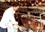 Giá thấp người chăn nuôi ngại tái đàn