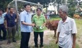Trao bò giống cho hộ nghèo