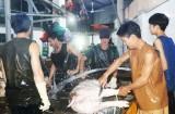 Lượng heo tăng đột biến tại các lò giết mổ
