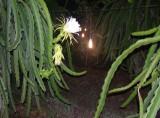 Hỗ trợ đèn tiết kiệm điện cho nông dân trồng thanh long