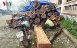 Phát hiện vụ khai thác trái phép gỗ hương quý hiếm tại Quảng Trị
