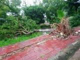 TP.Tân An thiệt hại hơn 30 cây xanh sau cơn mưa dông tối ngày 18/11/2017