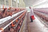 Tái đàn gia súc, gia cầm dịp tết: Người chăn nuôi e ngại