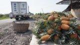 Thủ Thừa, Bến Lức: Nông sản rớt giá, nông dân lao đao