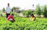 Sử dụng phân hữu cơ vi sinh trồng rau màu mang lại hiệu quả bước đầu