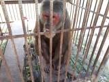 Đang giải cứu con khỉ mặt đỏ nặng hơn 10kg ở Vĩnh Hưng