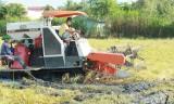 Cần Đước tập trung thu hoạch lúa Nàng Thơm Chợ Đào