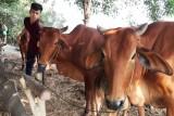 Không chủ quan trong phòng, chống dịch bệnh trên gia súc, gia cầm