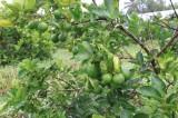 Tân Thành: Hiệu quả chuyển đổi cây trồng