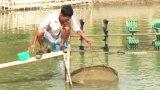 Cần Giuộc: Hơn 25% diện tích tôm bị nhiễm bệnh