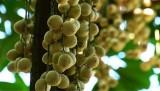 Cần Thơ phát triển vùng chuyên canh cây ăn trái xuất khẩu