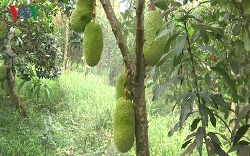 Với giá mít Thái cao như hiện nay, một cây mít cho trái như thế này cho thu nhập vài triệu đồng