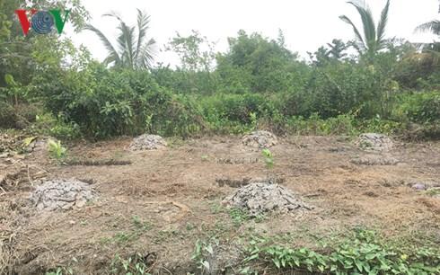 Nhiều nông dân phá vườn trồng mít Thái siêu sớm