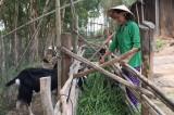 Phụ nữ Thạnh Hưng giúp nhau phát triển kinh tế