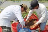 Giá tôm giảm liên tục - nông dân lao đao