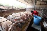 Khuyến cáo người chăn nuôi không găm hàng chờ giá lợn tăng cao