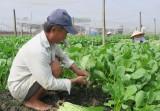 Hợp tác xã sản xuất nông nghiệp ứng dụng công nghệ cao - Nhiều lợi ích nhưng cũng lắm khó khăn