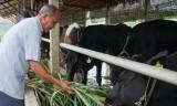 Xây dựng vùng chăn nuôi bò thịt ứng dụng công nghệ cao