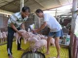Giá heo hơi tăng, người chăn nuôi rục rịch tái đàn