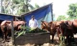Thủ Thừa: Tập trung phát triển đàn bò thịt