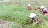 Cần Đước: Rau màu rớt giá, nông dân gặp khó khăn