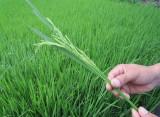 Lúa Hè Thu: Sâu, bệnh gây hại giảm
