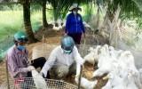 Bến Lức khẩn trương phòng, chống cúm gia cầm H5N6