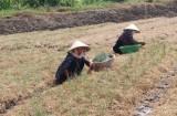 Tân Trụ tạo hướng đi mới cho người trồng rau