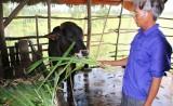 Bình An: Hiệu quả bước đầu từ chương trình phát triển đàn bò thịt