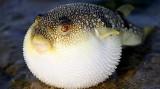Vì sao thịt cá nóc không chứa độc tố nhưng khi ăn vẫn ngộ độc nặng?