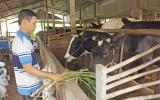 Để chăn nuôi bò phát huy lợi thế: Bài 1 - Chưa phát huy hết thế mạnh vốn có
