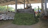Để chăn nuôi bò phát huy lợi thế: Bài 2 - Hướng đến phát triển bền vững