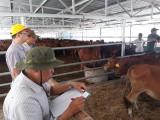 Nghiệm thu bò giống hỗ trợ nông dân Long An