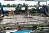 Gần 170 tấn cá lồng, bè ở Tiền Giang chết chưa rõ nguyên nhân