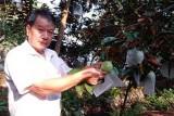 Nhà vườn Tiền Giang chuẩn bị 400 tấn vú sữa Lò rèn xuất sang Mỹ