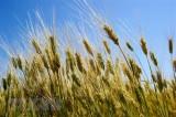 FAO dự báo sản lượng ngũ cốc năm 2018 giảm so với năm 2017