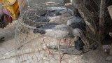 Bày bán, giết mổ động vật hoang dã tại Thạnh Hóa giảm dần
