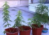 Phát hiện một thanh niên TP.Thanh Hóa trồng cần sa tại nhà riêng