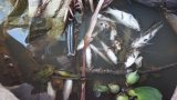 Cá chết hàng loạt vì thuốc diệt ốc bươu vàng