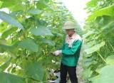 Sản xuất nông nghiệp ứng dụng công nghệ cao - Để tạo ra sản phẩm sạch