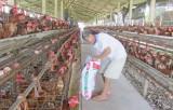 Chăn nuôi phục vụ thị trường tết
