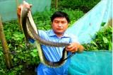 Thu nhập hàng trăm triệu nhờ nuôi rắn ri cá trong vèo