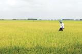 Xuân về trên những cánh đồng lớn