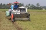 Thu hoạch lúa Nàng thơm Chợ Đào phục vụ tết