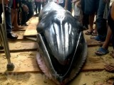 Xác cá voi dài 12m, nặng 10 tấn trôi vào vùng biển Bạc Liêu